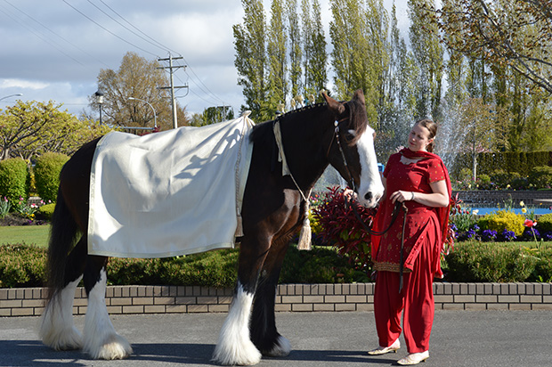Horses For Indian Weddings